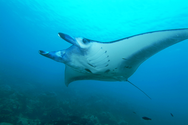 A manta ray glides by underwater at Manta Sandy in Raja Amput, Indonesia.