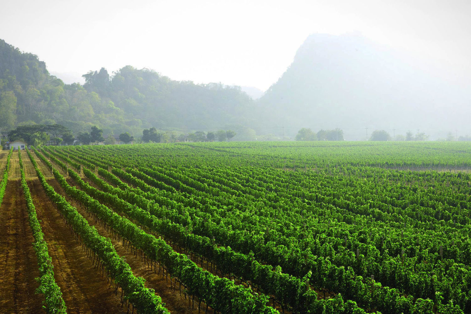 From New World to New Latitude: Thai Wine