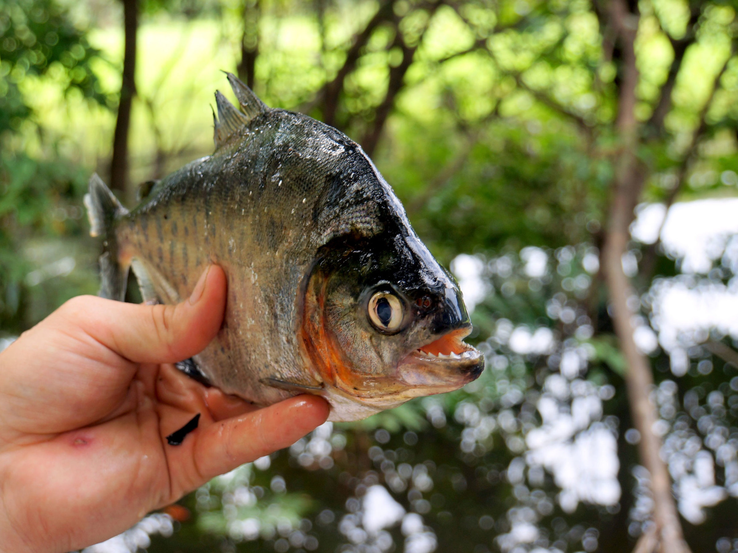 A hand holding a piranha in the Amazon jungle