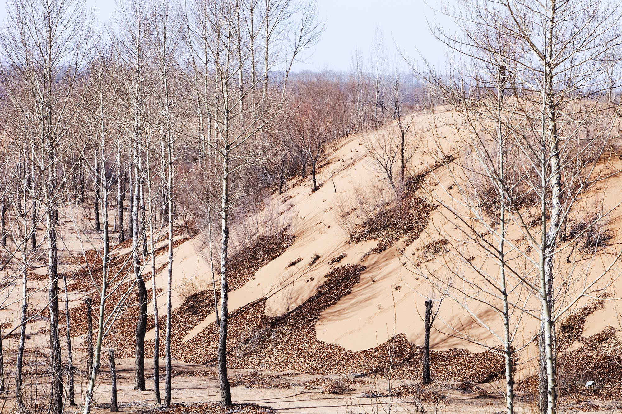 Sand dunes expanding and swallowing up forest in Shanxi province in China. The province has been particularly badly hit by an ongoing drought with ever drier conditions and creeping desertification.