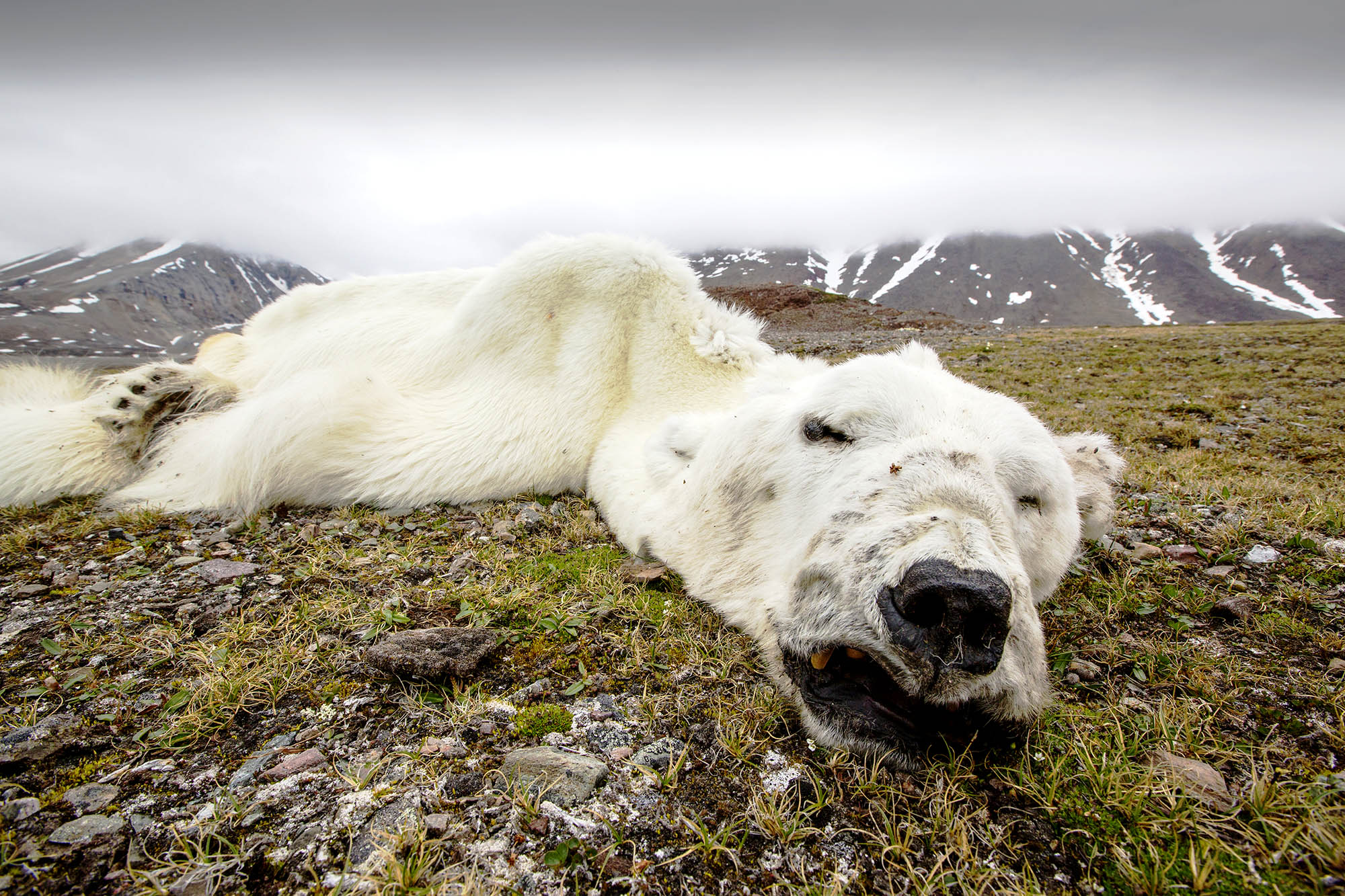 A dead male polar bear lies on the ground with icy hills and clouds in the background