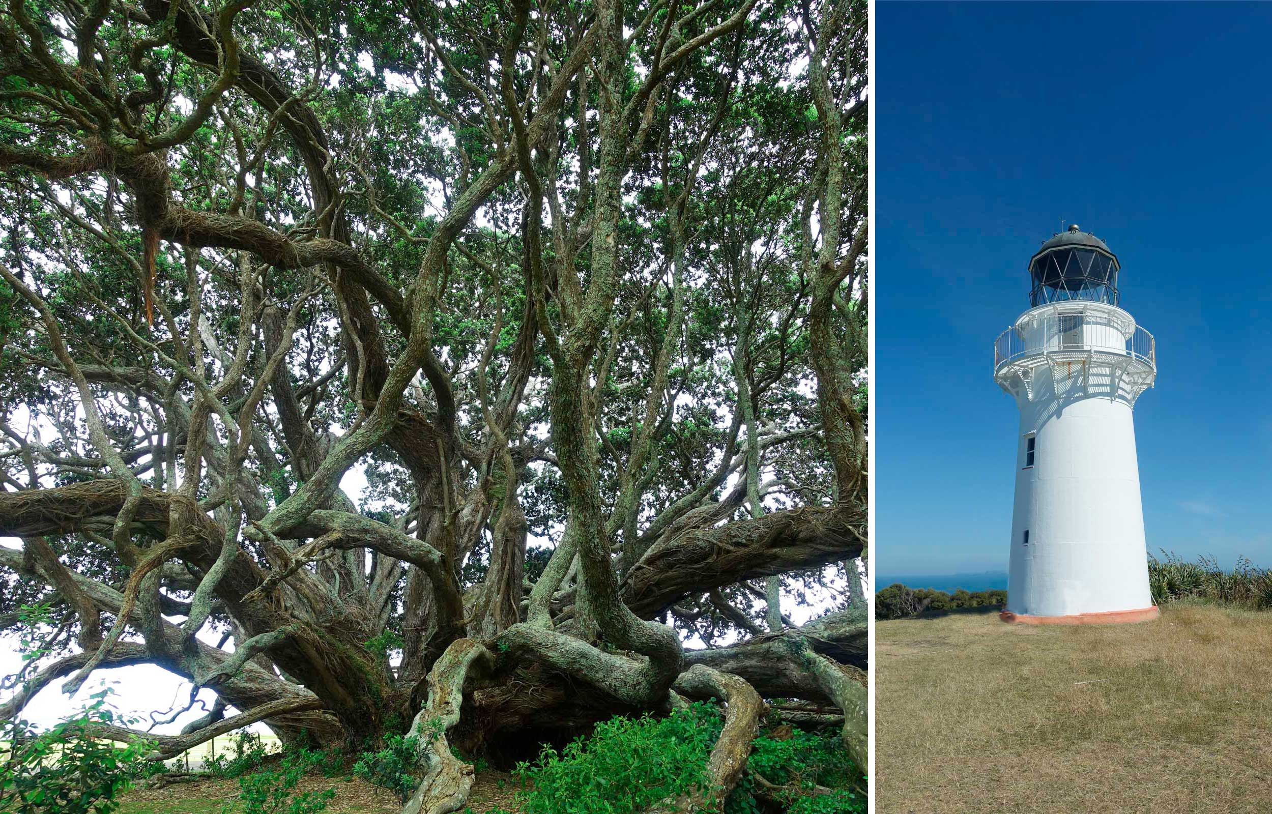 A collage of a gnarly, old tree and a white lighthouse from the east coast, New Zealand