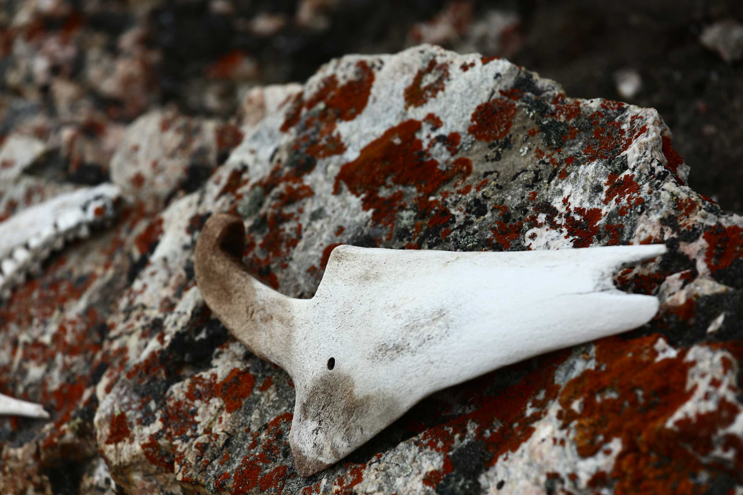 A bone fragment on a rock with orange lichen on it in Greenland