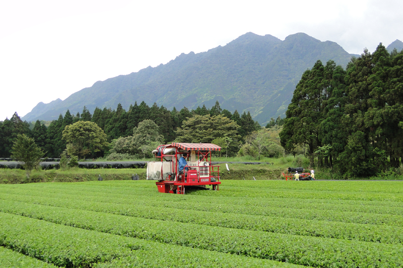 Farm worker on red crop dusting machine in a green tea field