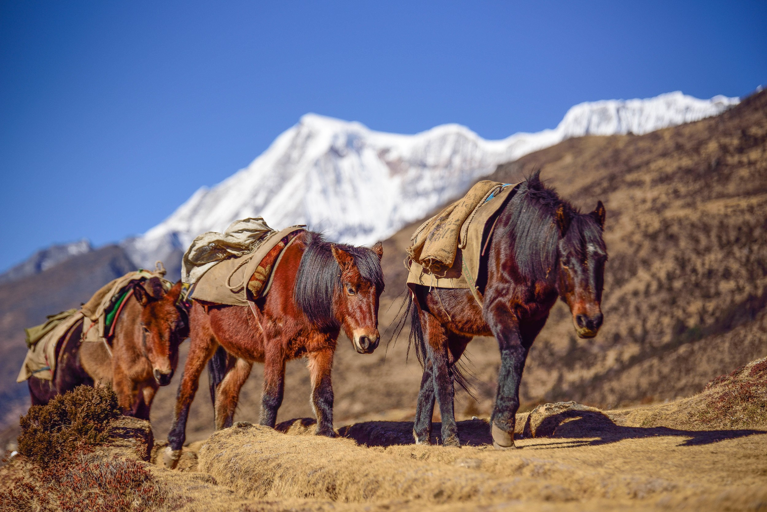 Three burlap-saddled brown ponies summiting a ridge with snow capped mountains in the distance, Bhutan
