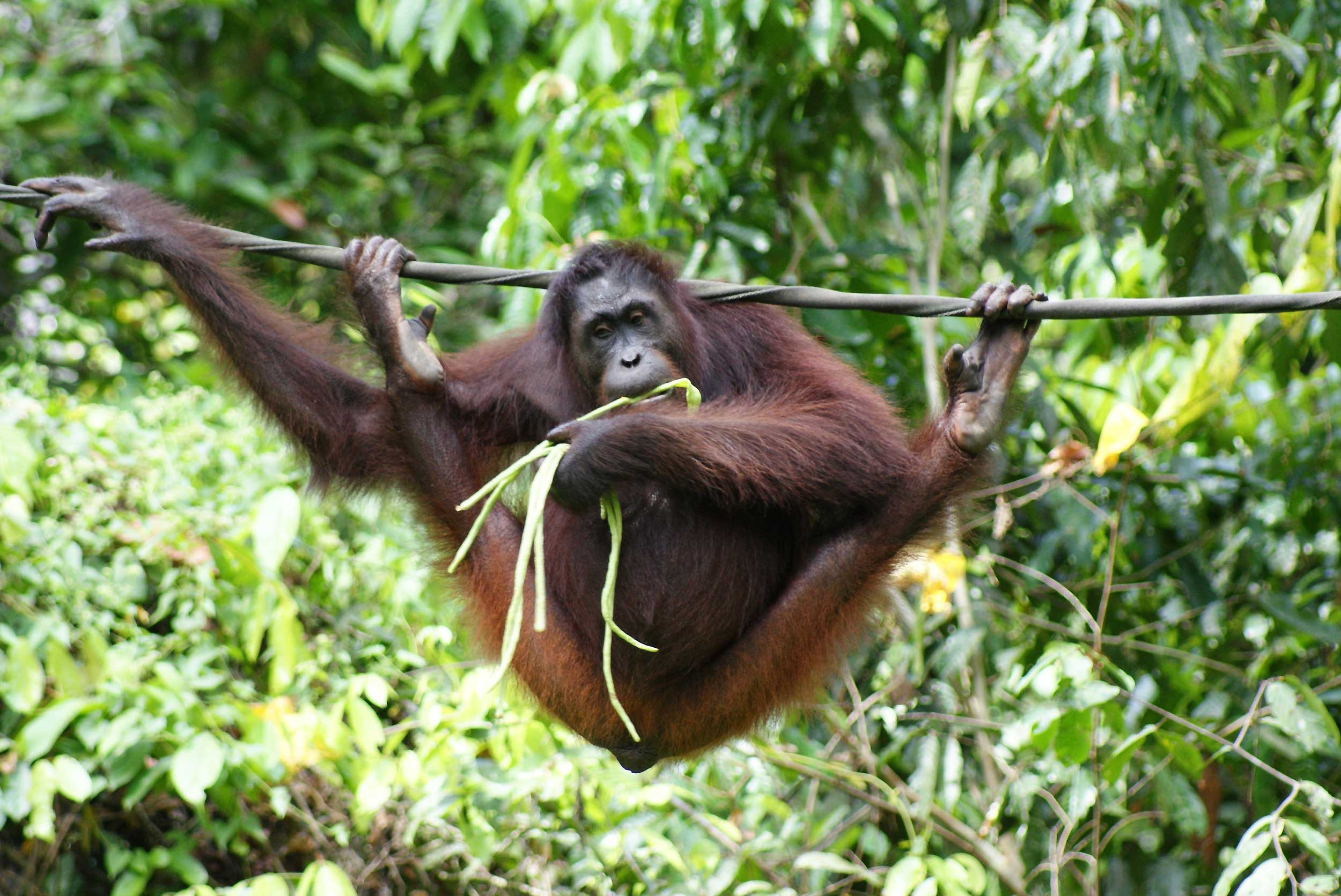 An orang utan eating leaves while clinging onto a wire with both feet and an arm in Borneo
