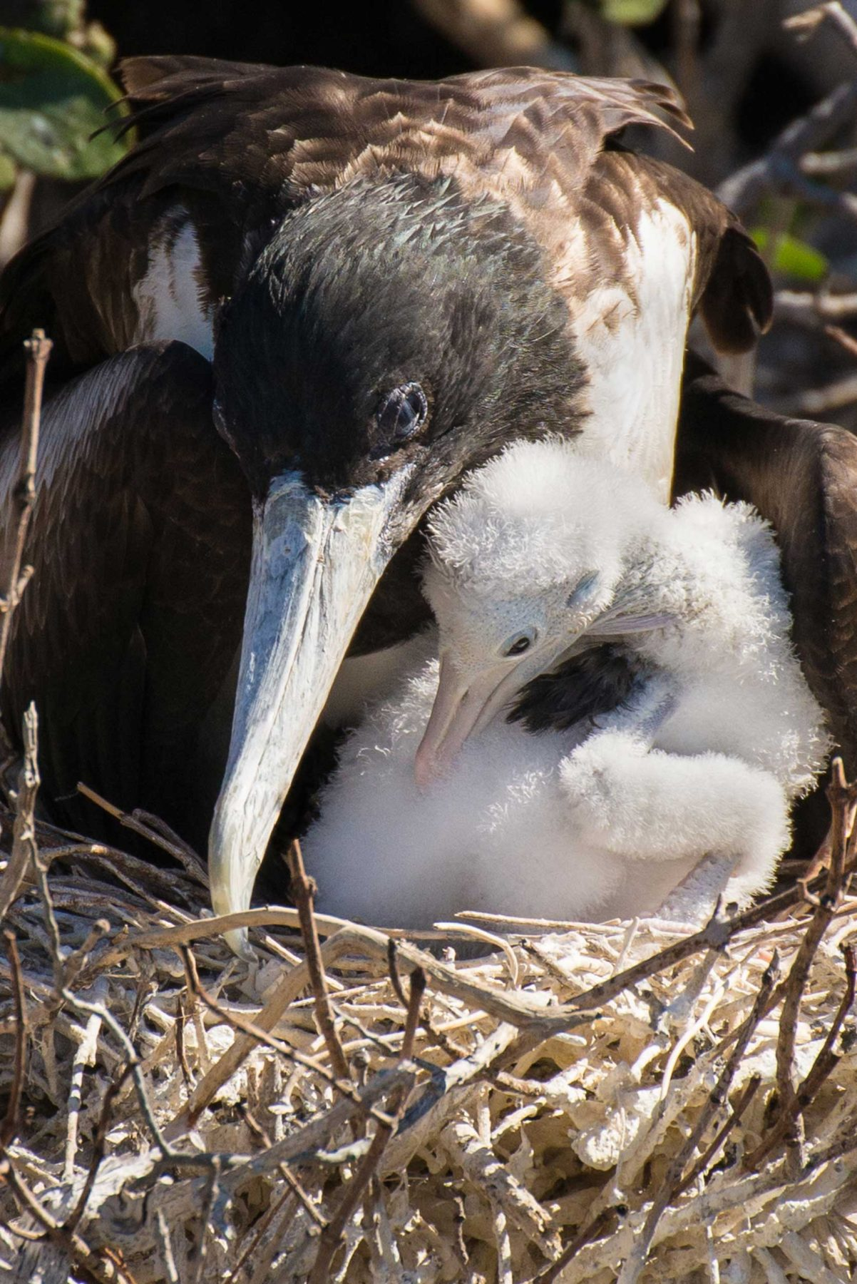 Mother bird with downy chick in a nest of twigs in Mexico