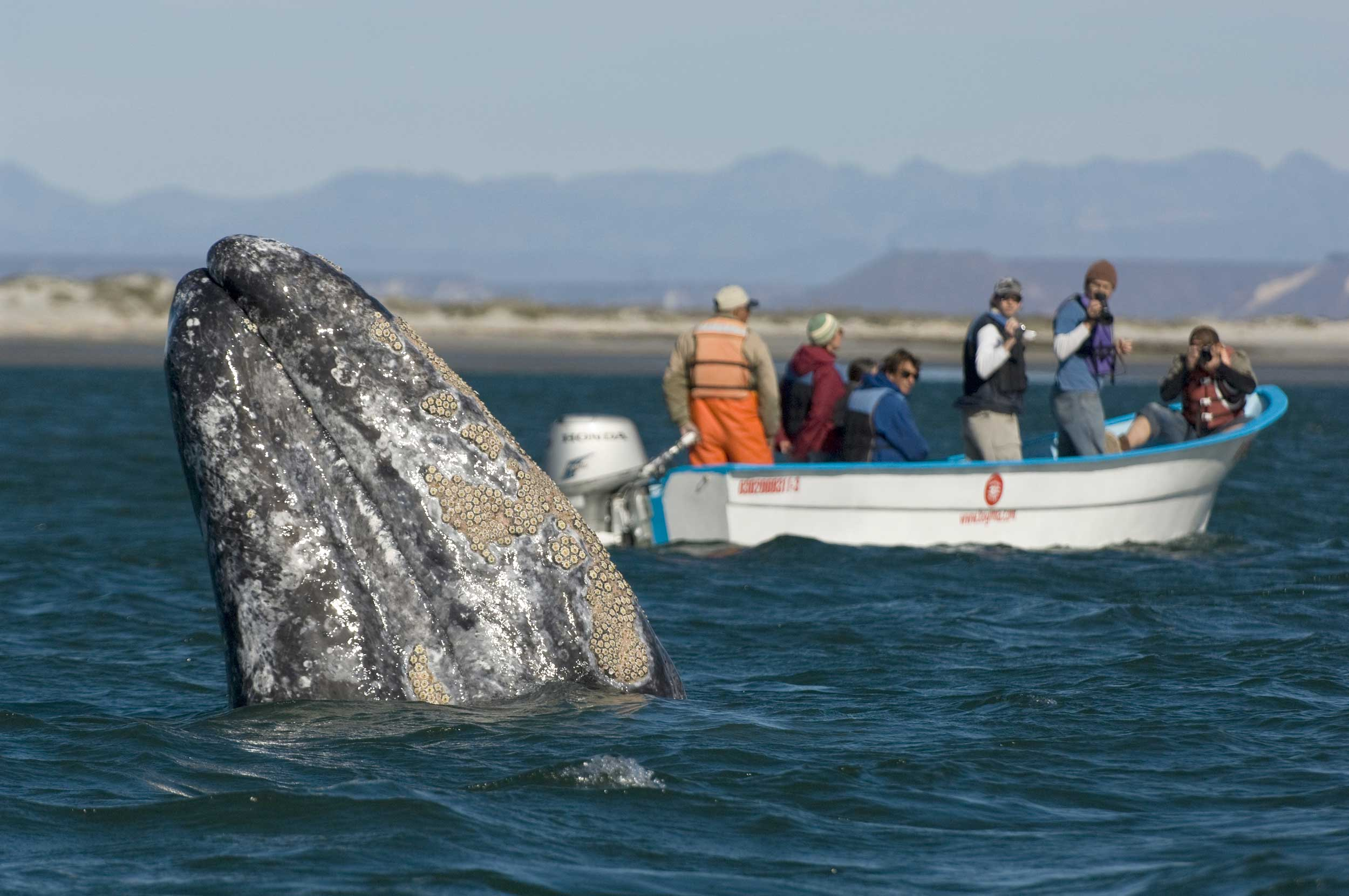 A barnacle crusted whale snout with a boat load of tourists in the background
