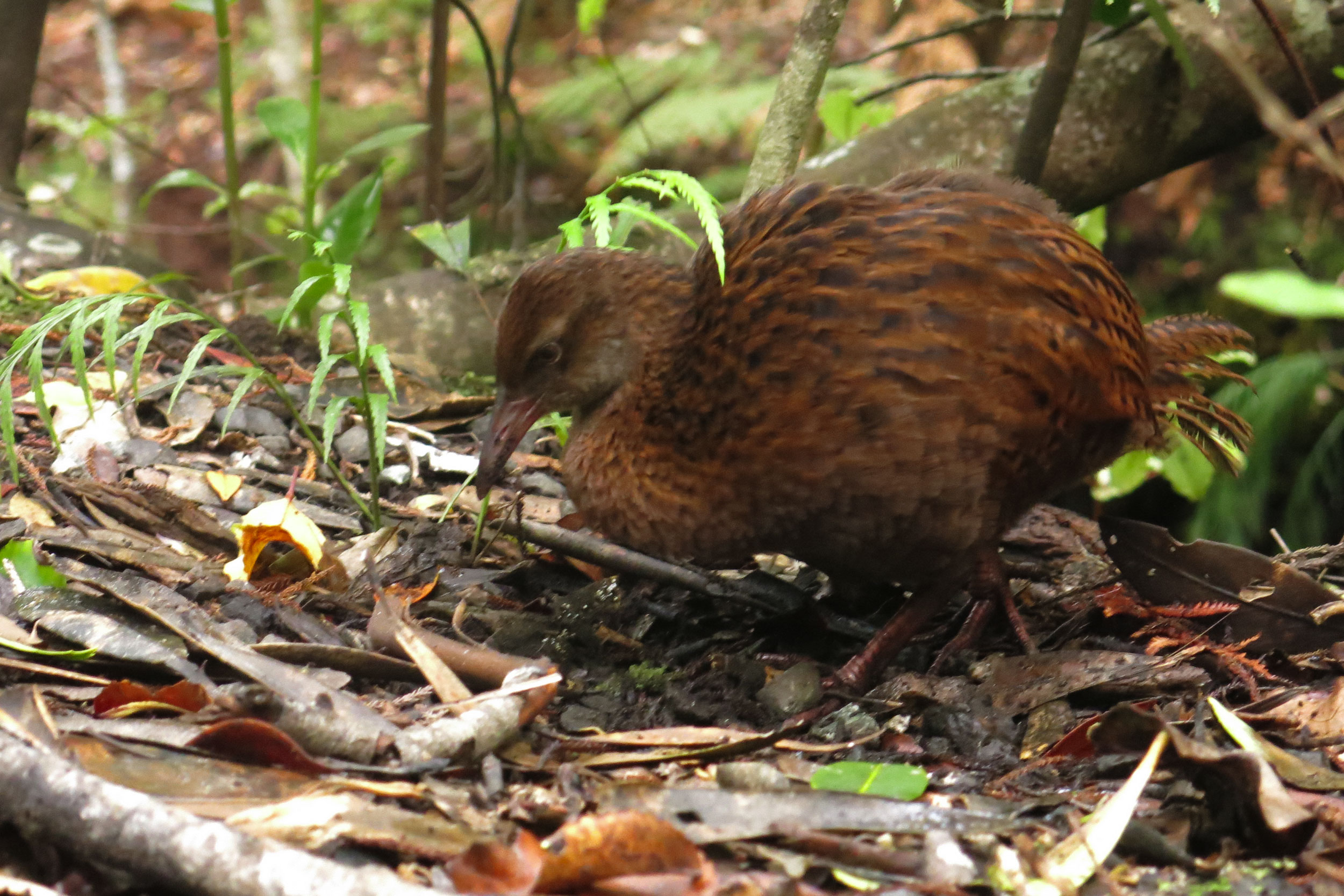 A small brown bird scratching among leaves on forest floor, Ulva Island, New Zealand