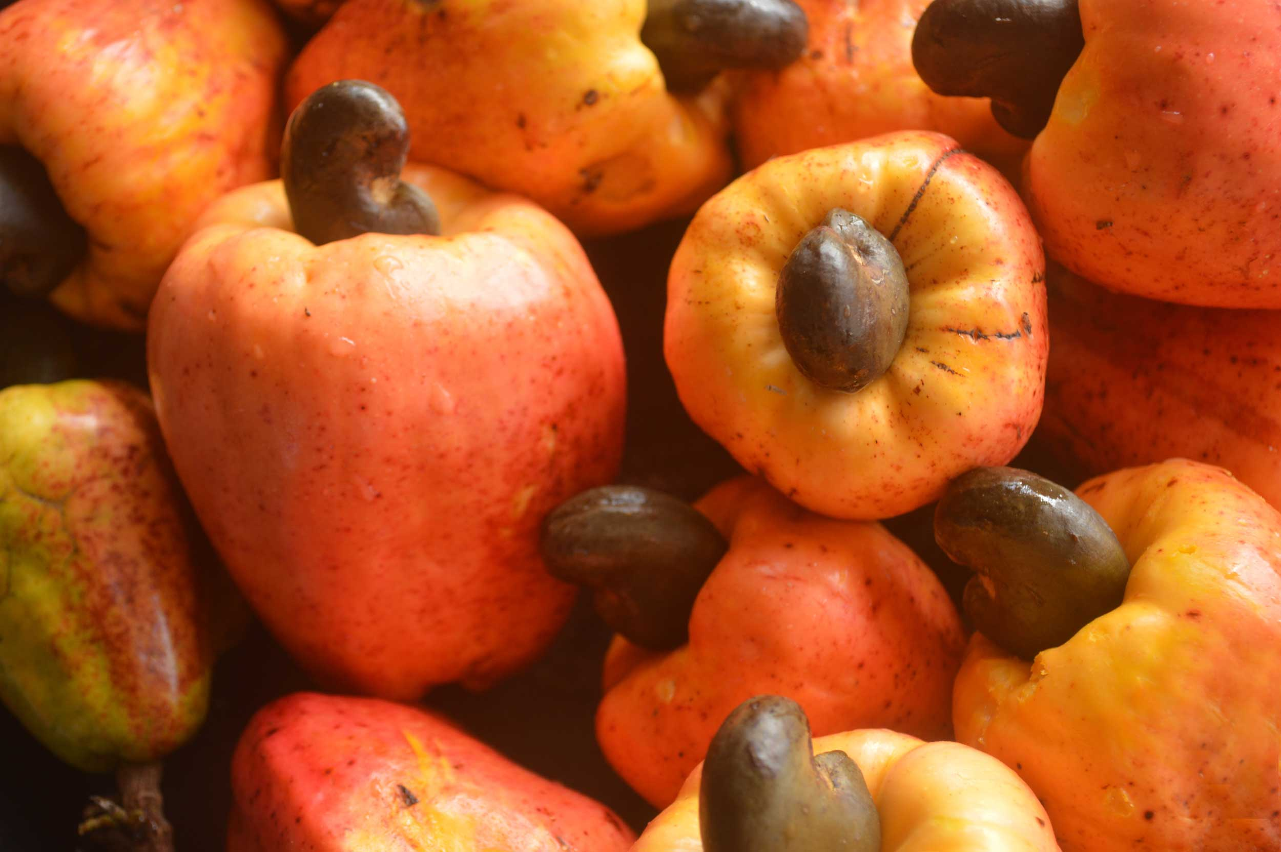 Deep orange cashew fruits with dark brown nuts growing out of them