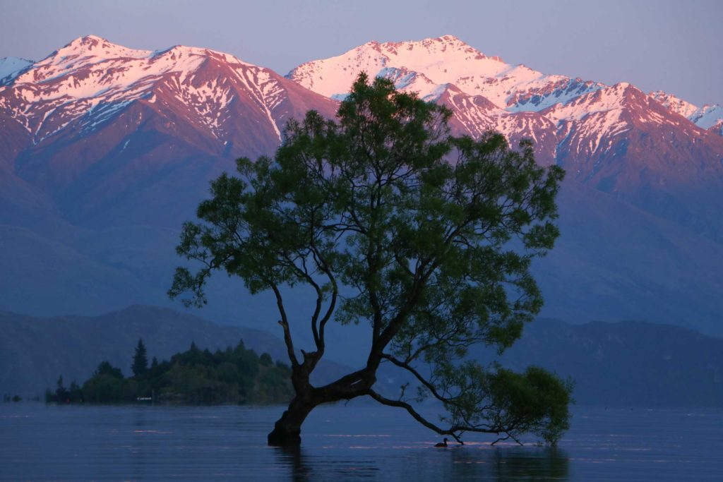 The famous lone tree of Lake Wanaka, silhouetted against the sunset-tipped Southern Alps.