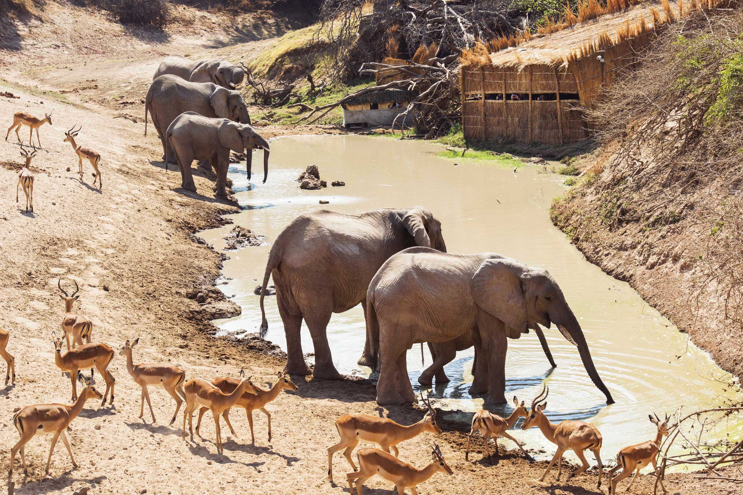 Elephants and impalas on the dusty banks of a waterhole with a hide on the far side, Zambia