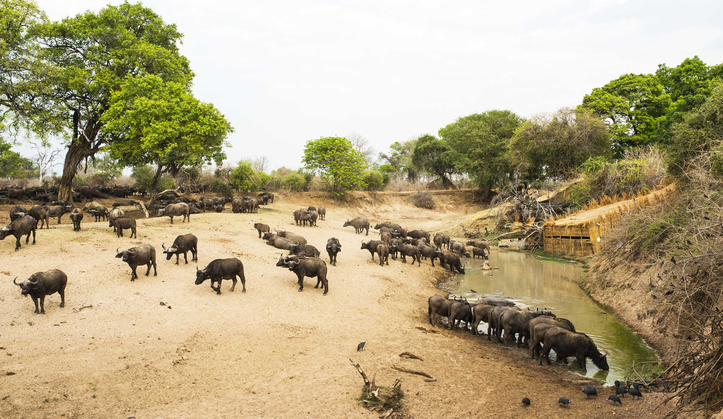 Buffalos around a waterhole with a hide at the far end, Zambia