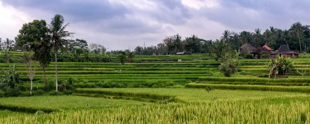 At the end of the Campuhan Ridge walk, hikers can take a stroll through this rice terrace and watch the farmers plant or harvest their crops.