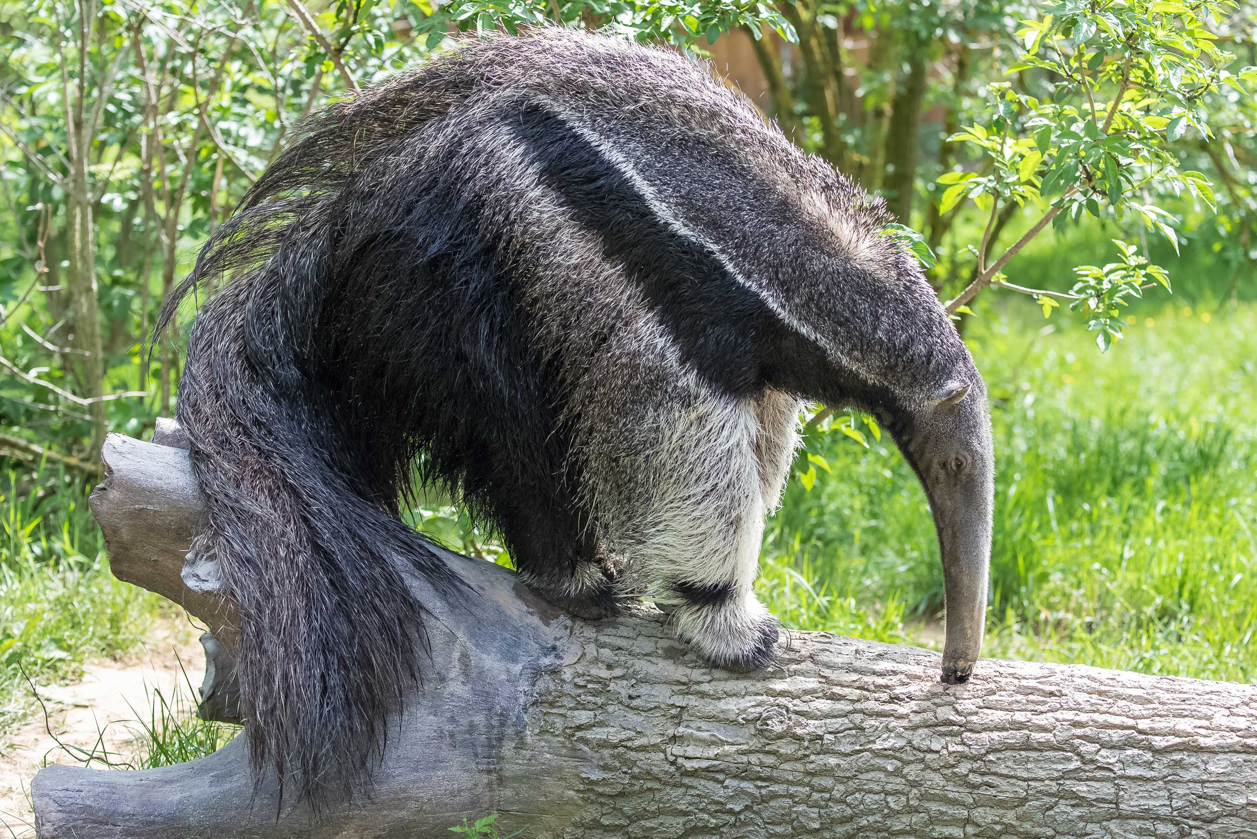 Long-snouted anteater on a fallen tree trunk, Argentina