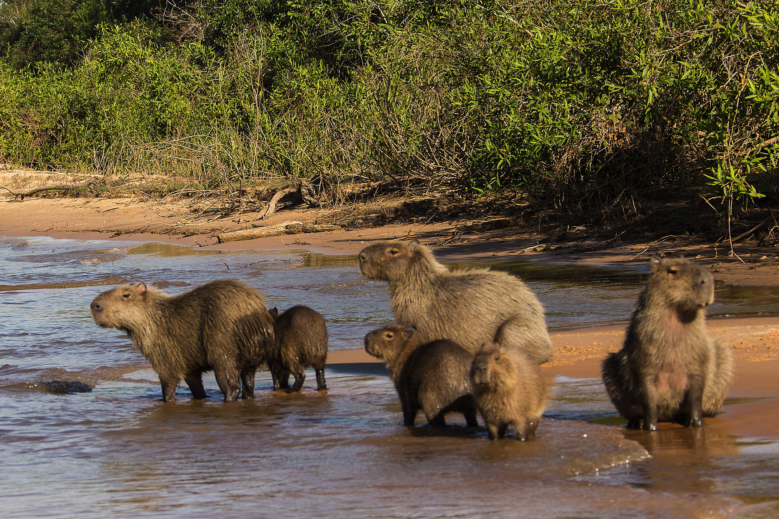A group of young and old capybara on a river bank, South America