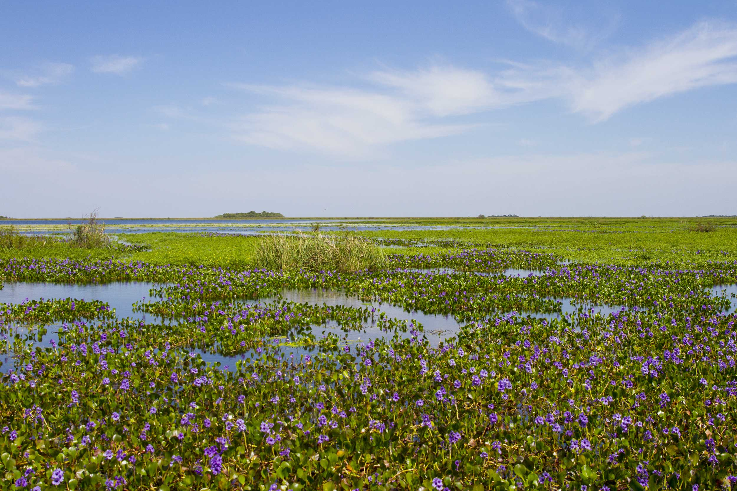 Water hyacinth in bloom , Argentina