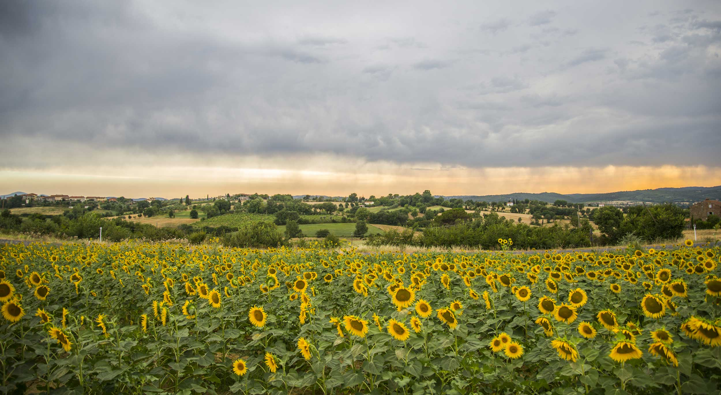 Bank of sunflowers with rolling fields behind it upto the horizon, Italy