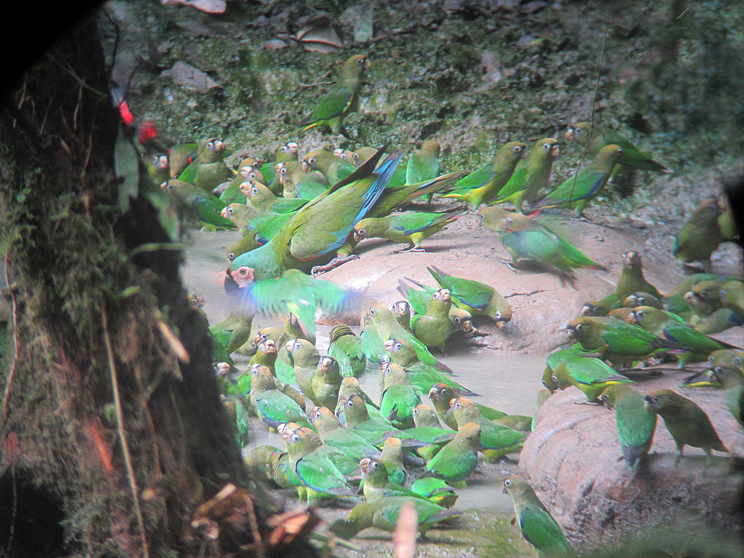 A large flock og green parrots at a clay lick, Bameno