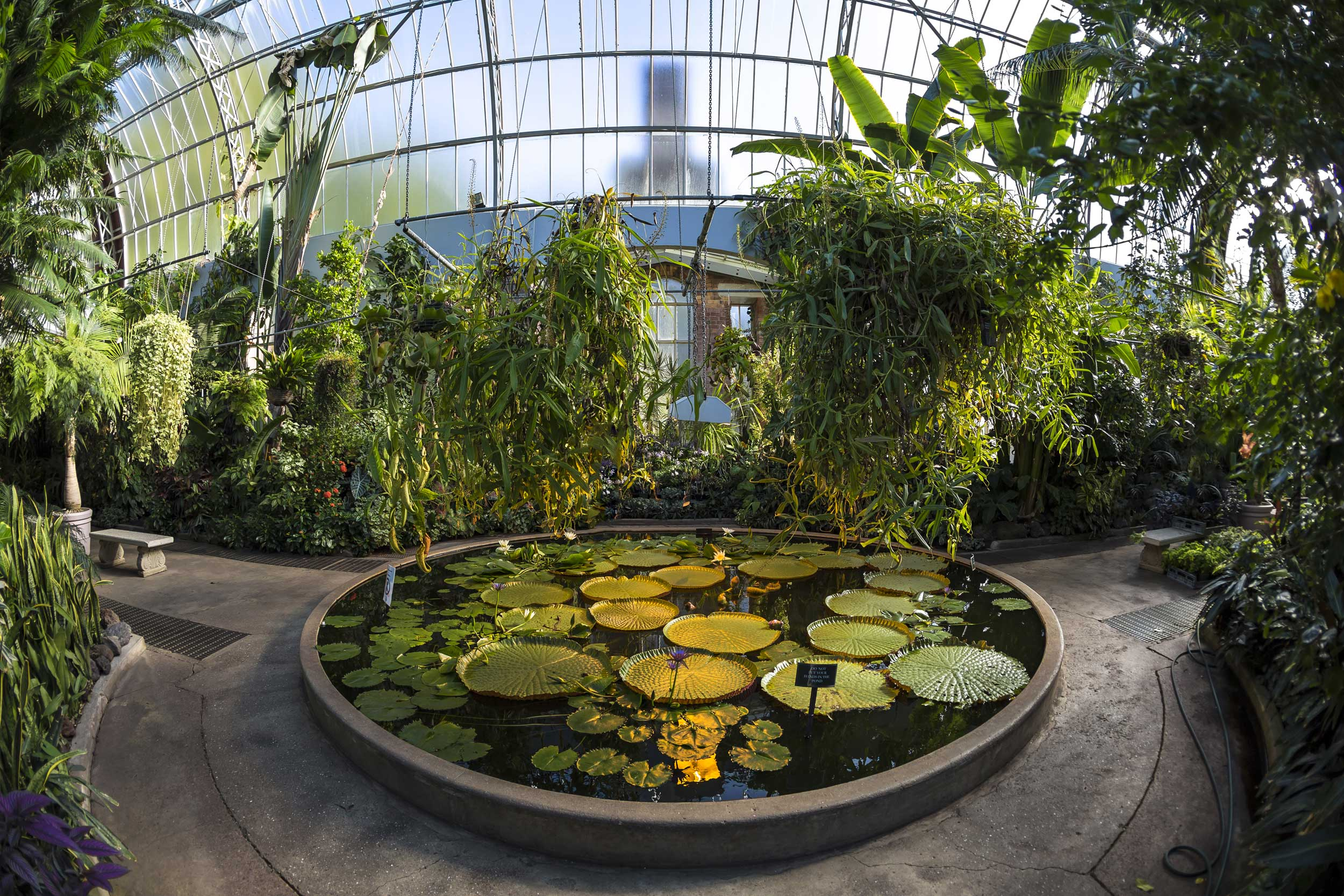 Waterlilies in a circular small pond with other tropical plants in a glasshouse, Auckland