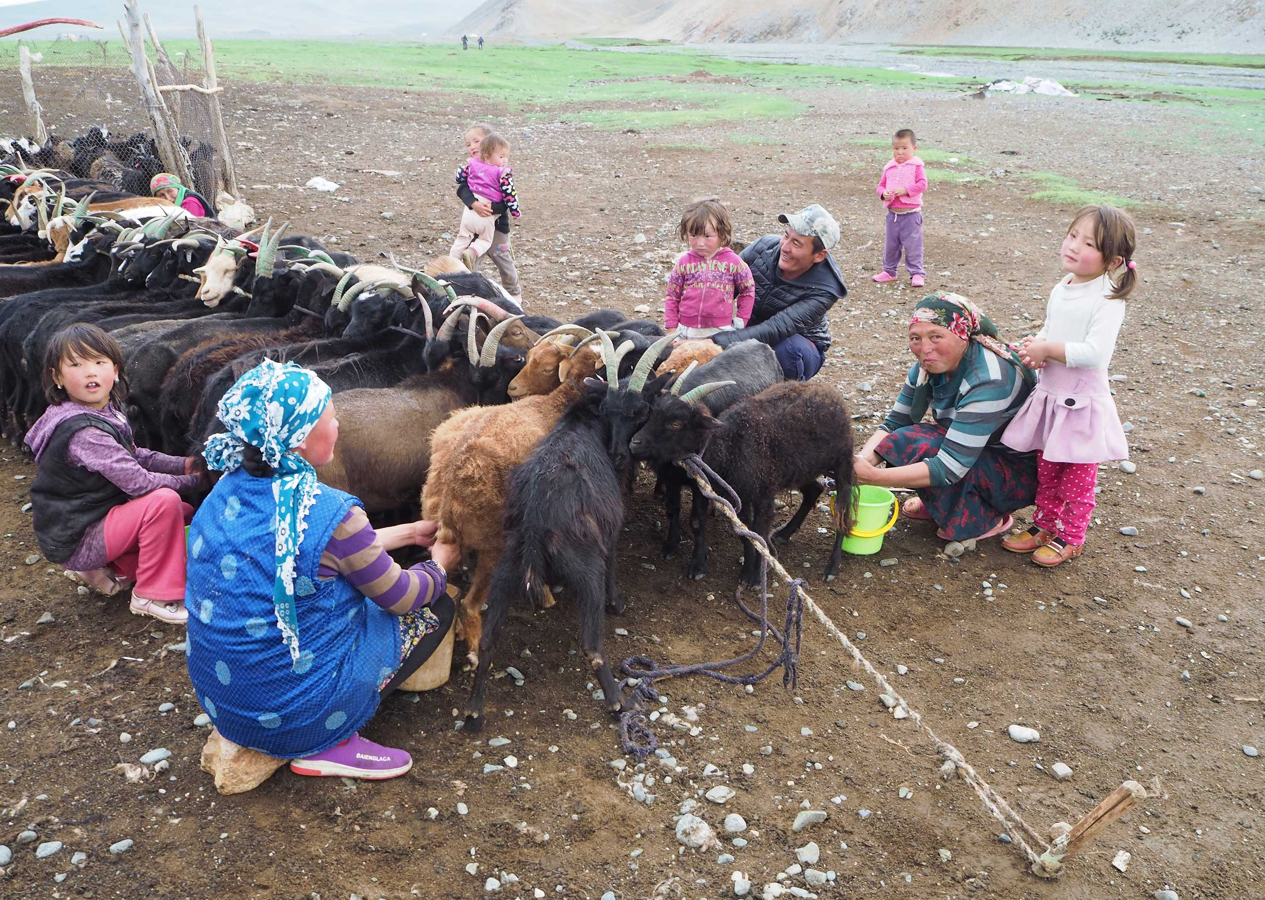 Women and children milking goats tied together in a line, Mongolia