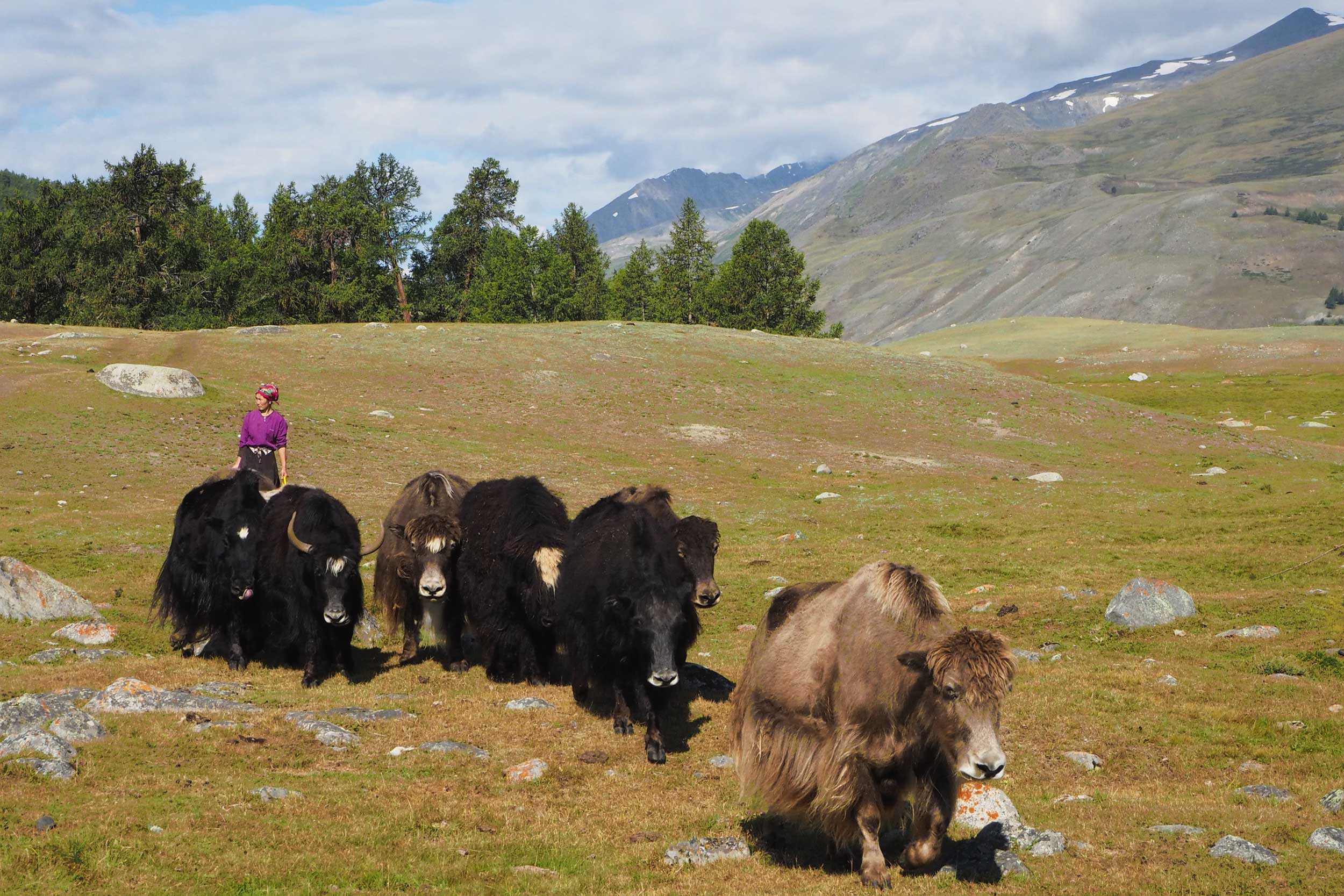 Group of yaks with a herder, Mongolia