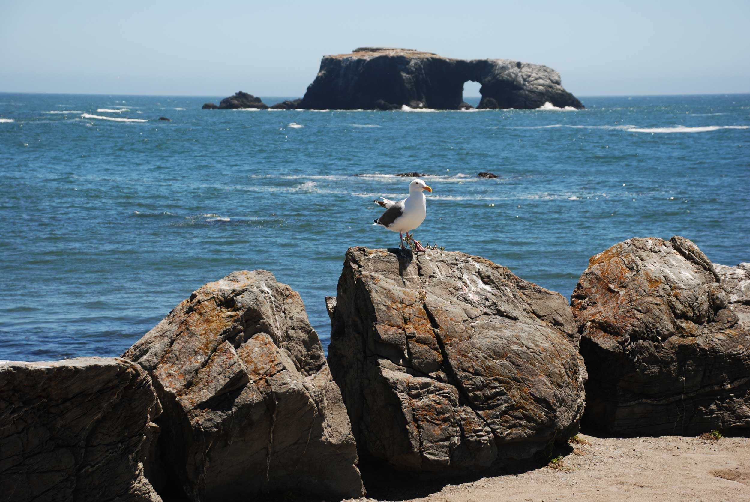 Gull standing on a rock with the sea and another rocky outcrop in the background, Sonoma County